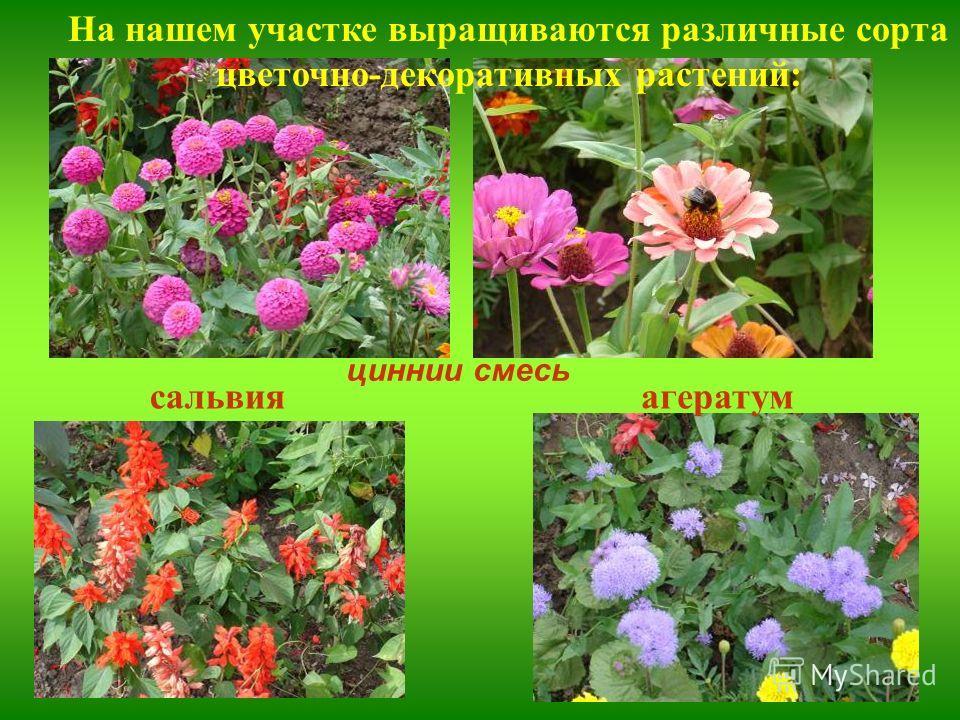сальвия циннии смесь агератум На нашем участке выращиваются различные сорта цветочно-декоративных растений: