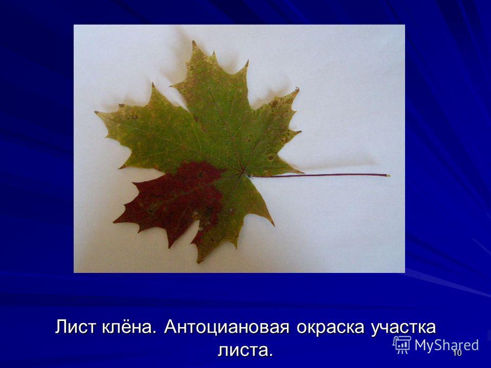 10 Лист клёна. Антоциановая окраска участка листа.