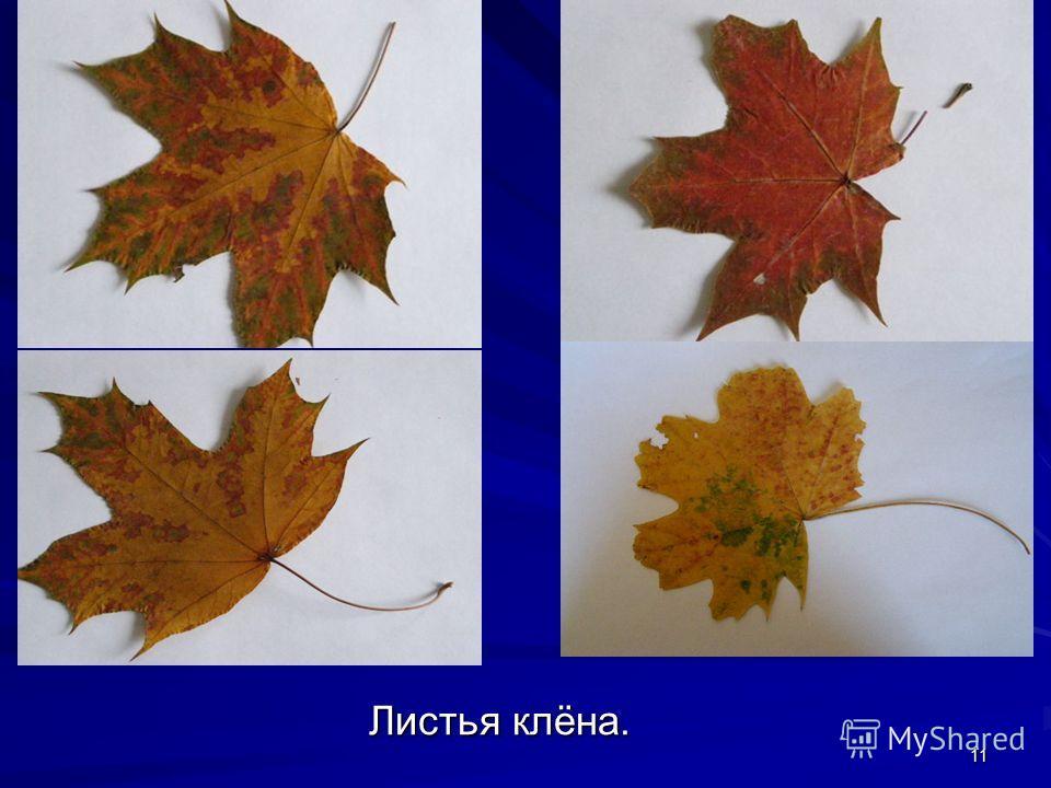 11 Листья клёна.