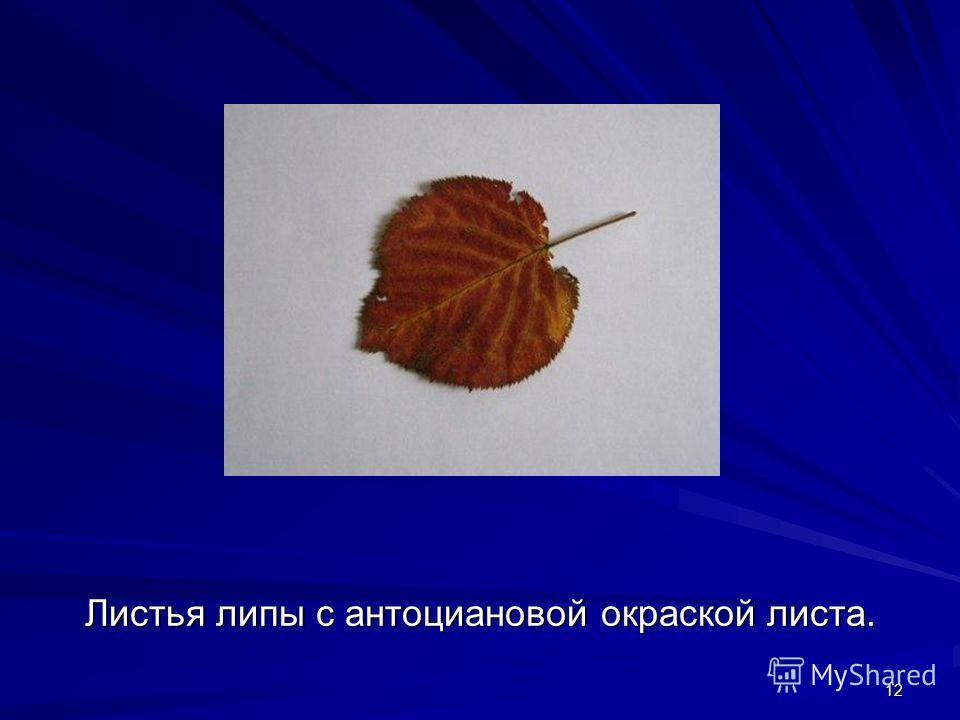 12 Листья липы с антоциановой окраской листа.