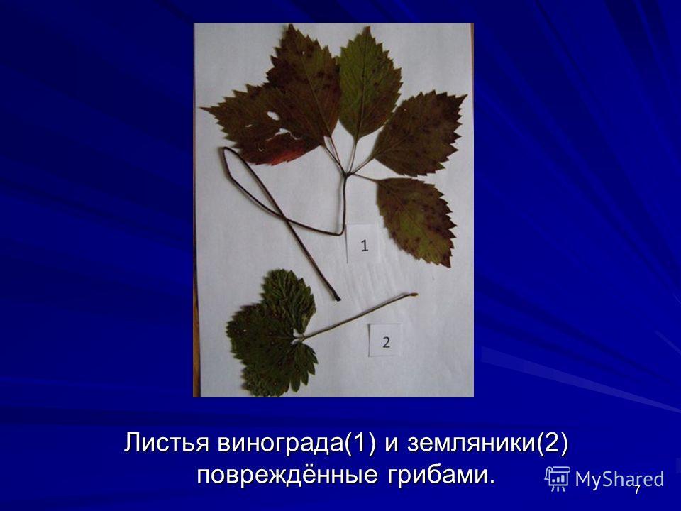 7 Листья винограда(1) и земляники(2) повреждённые грибами.