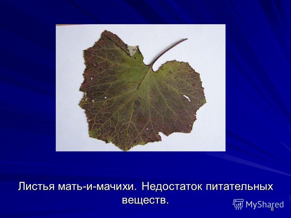 8 Листья мать-и-мачихи. Недостаток питательных веществ.