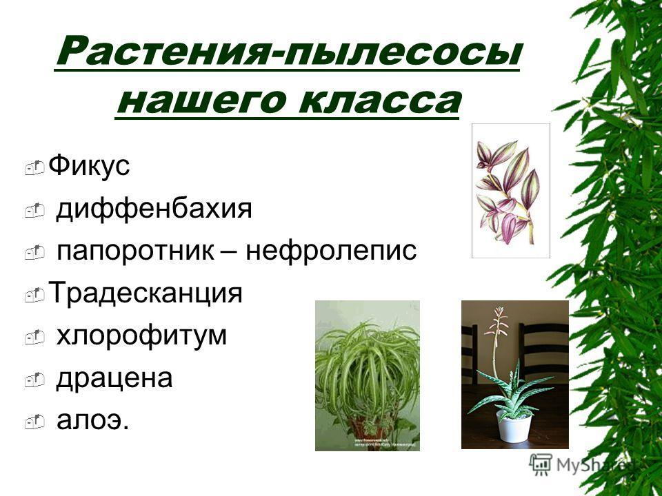 Растения-пылесосы нашего класса Фикус диффенбахия папоротник – нефролепис Традесканция хлорофитум драцена алоэ.