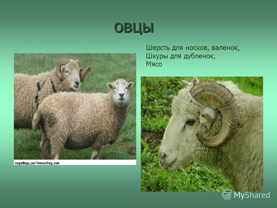 овцы Шерсть для носков, валенок, Шкуры для дубленок, Мясо