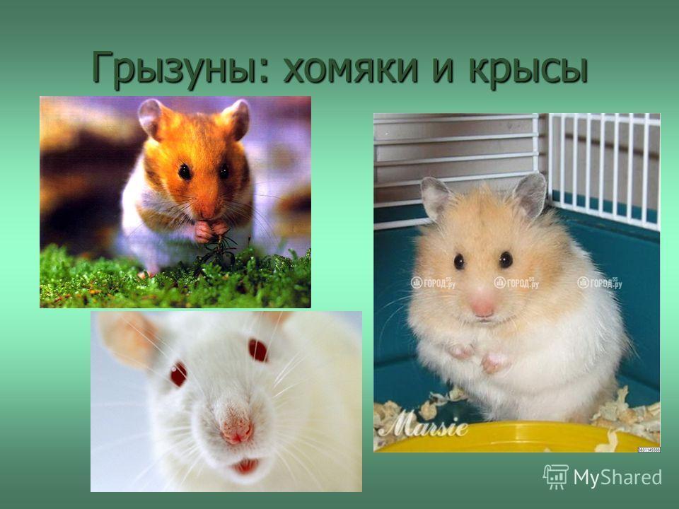 Грызуны: хомяки и крысы