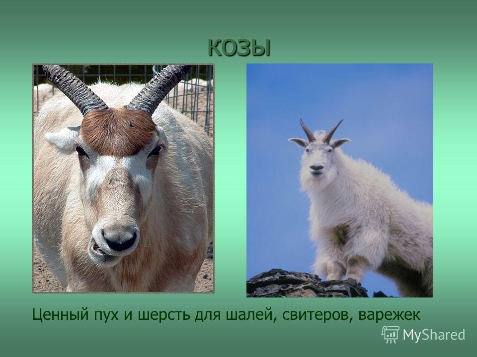 козы Ценный пух и шерсть для шалей, свитеров, варежек