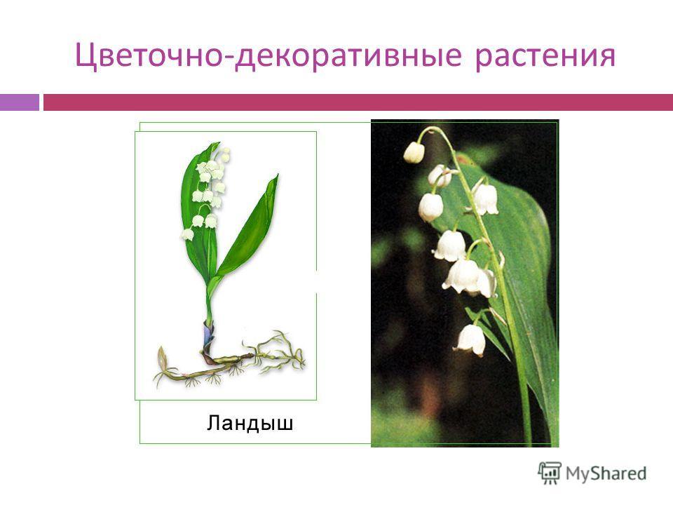 Цветочно - декоративные растения