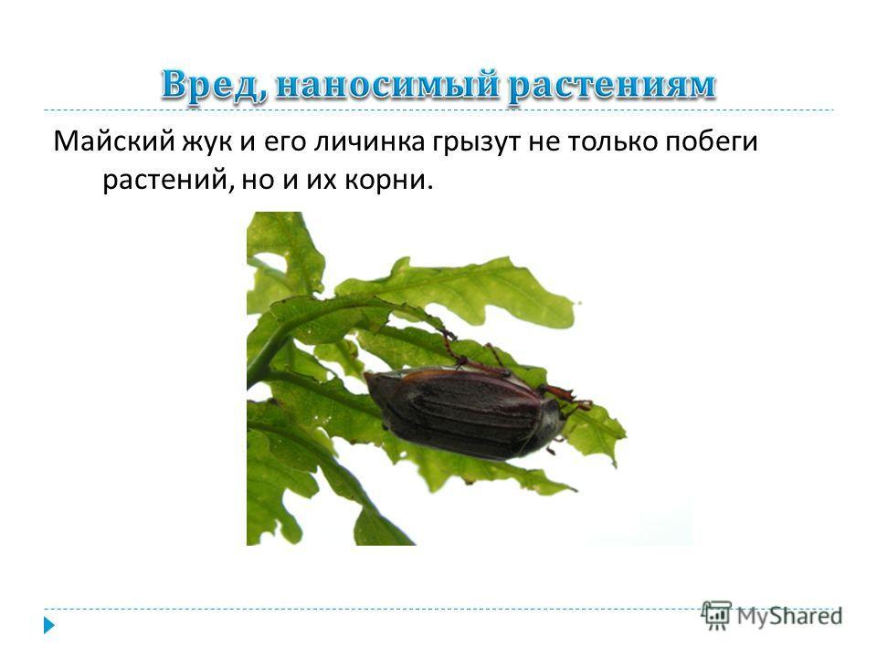 Майский жук и его личинка грызут не только побеги растений, но и их корни.