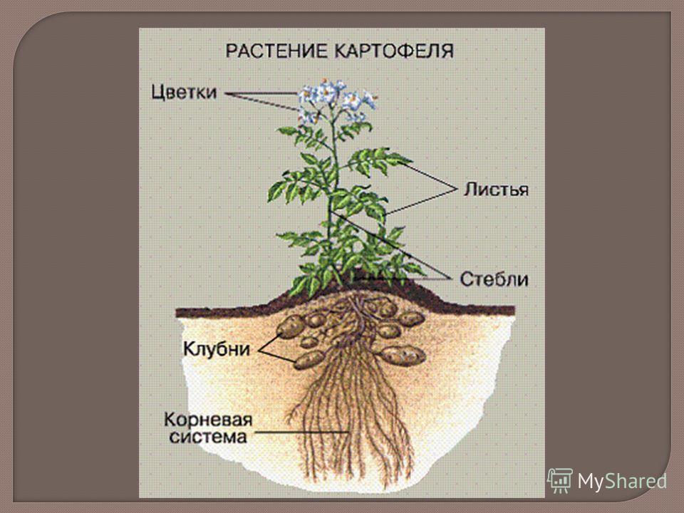 Доклад на тему картофель культурное растение 8892