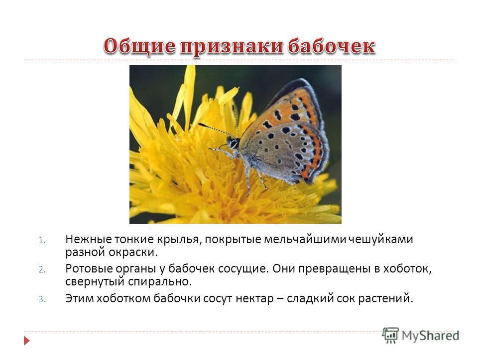 1. Нежные тонкие крылья, покрытые мельчайшими чешуйками разной окраски. 2. Ротовые органы у бабочек сосущие. Они превращены в хоботок, свернутый спирально. 3. Этим хоботком бабочки сосут нектар – сладкий сок растений.