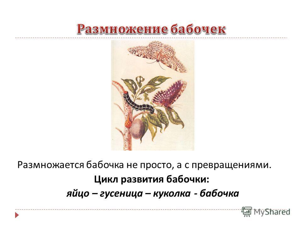 Размножается бабочка не просто, а с превращениями. Цикл развития бабочки : яйцо – гусеница – куколка - бабочка