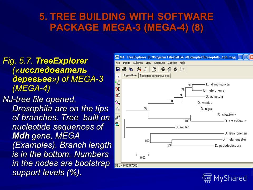 5. TREE BUILDING WITH SOFTWARE PACKAGE MEGA-3 (MEGA-4) (8) Fig. 5.7. TreeExplorer («исследователь деревьев») of MEGA-3 (MEGA-4) NJ-tree file opened. Drosophila are on the tips of branches. Tree built on nucleotide sequences of Mdh gene, MEGA (Example
