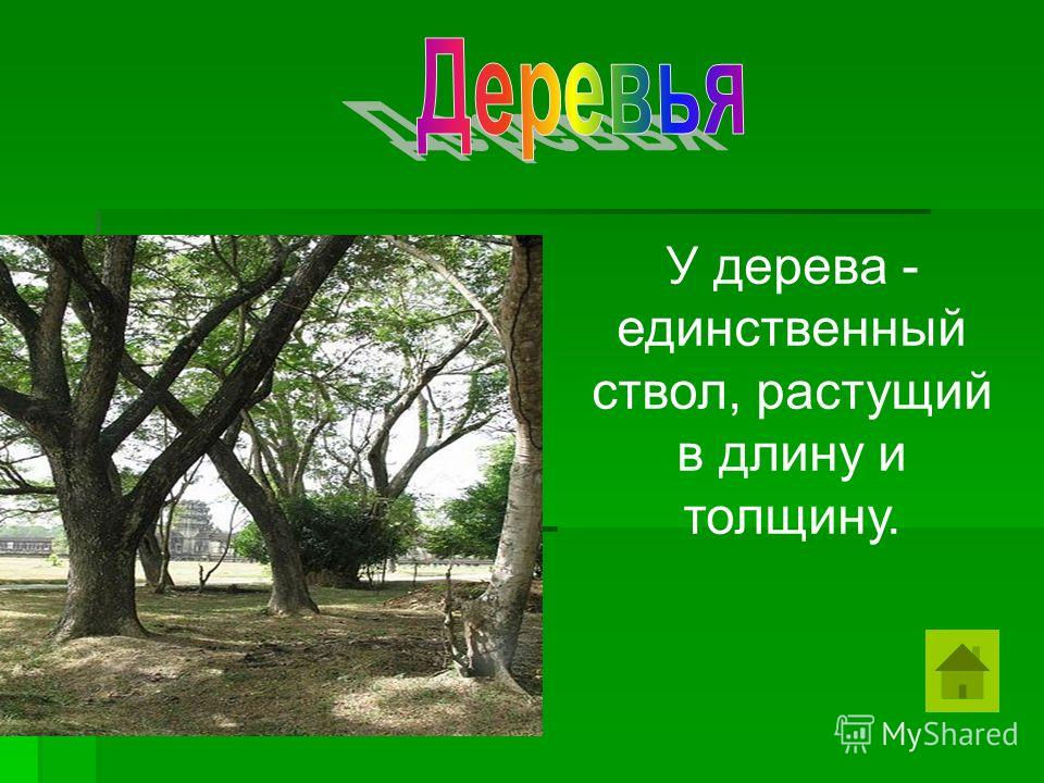 У дерева - единственный ствол, растущий в длину и толщину.