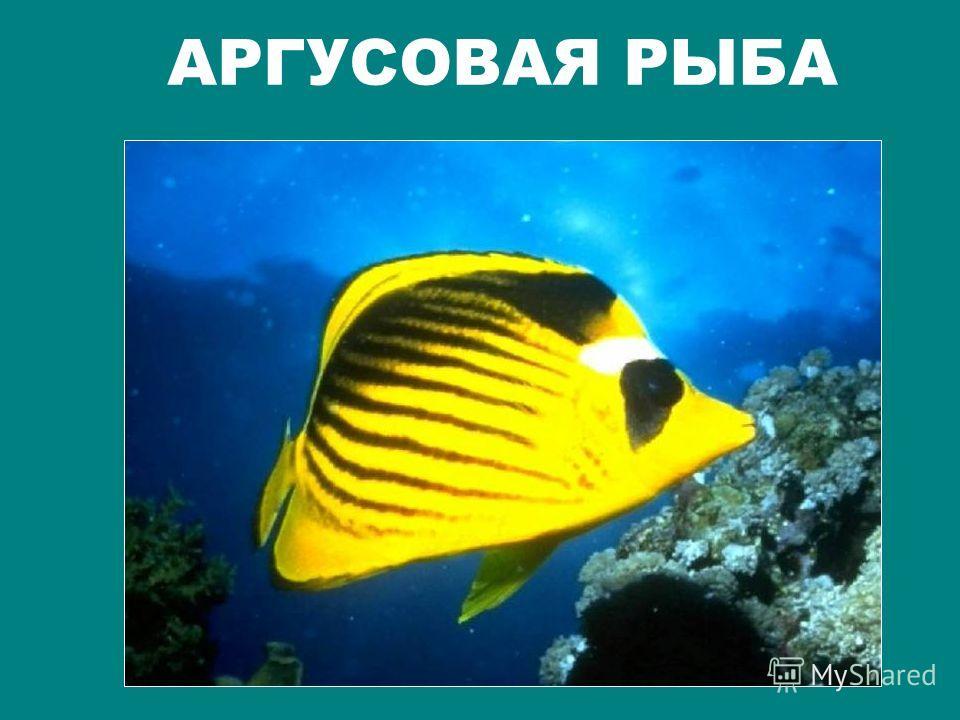 ФРАНЦУЗСКИЙ АНГЕЛ