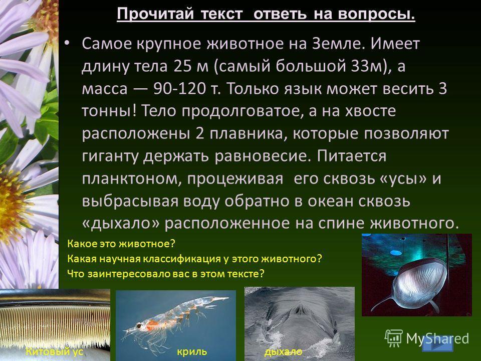 Самое крупное животное на Земле. Имеет длину тела 25 м (самый большой 33м), а масса 90-120 т. Только язык может весить 3 тонны! Тело продолговатое, а на хвосте расположены 2 плавника, которые позволяют гиганту держать равновесие. Питается планктоном,