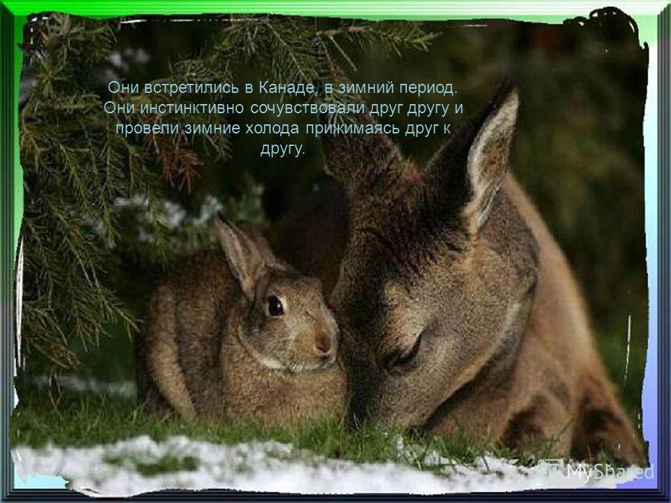 Это правдивая история о дружбе, рожденная зимой и продолжающеюся весной, между оленем и кроликом.