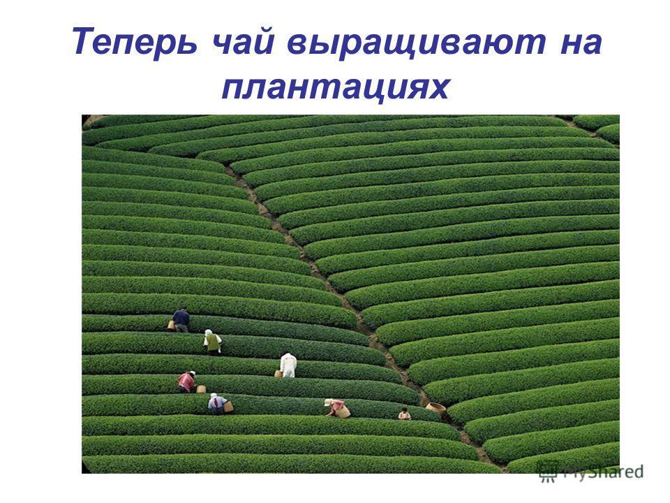 Теперь чай выращивают на плантациях