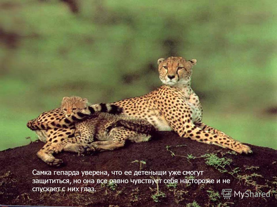 Самка гепарда уверена, что ее детеныши уже смогут защититься, но она все равно чувствует себя настороже и не спускает с них глаз.