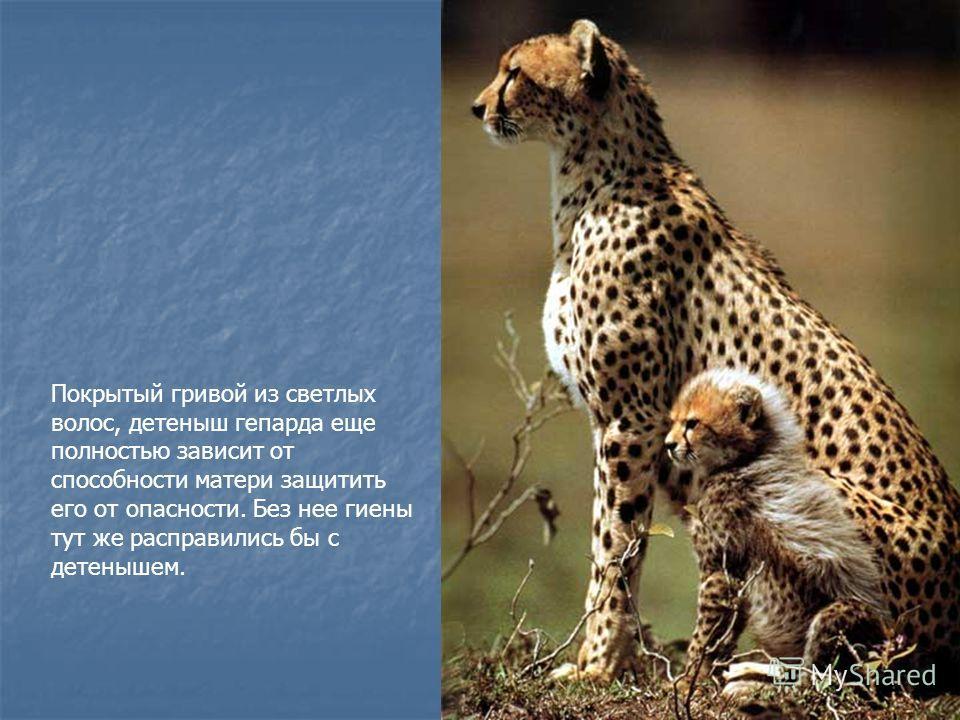 Покрытый гривой из светлых волос, детеныш гепарда еще полностью зависит от способности матери защитить его от опасности. Без нее гиены тут же расправились бы с детенышем.