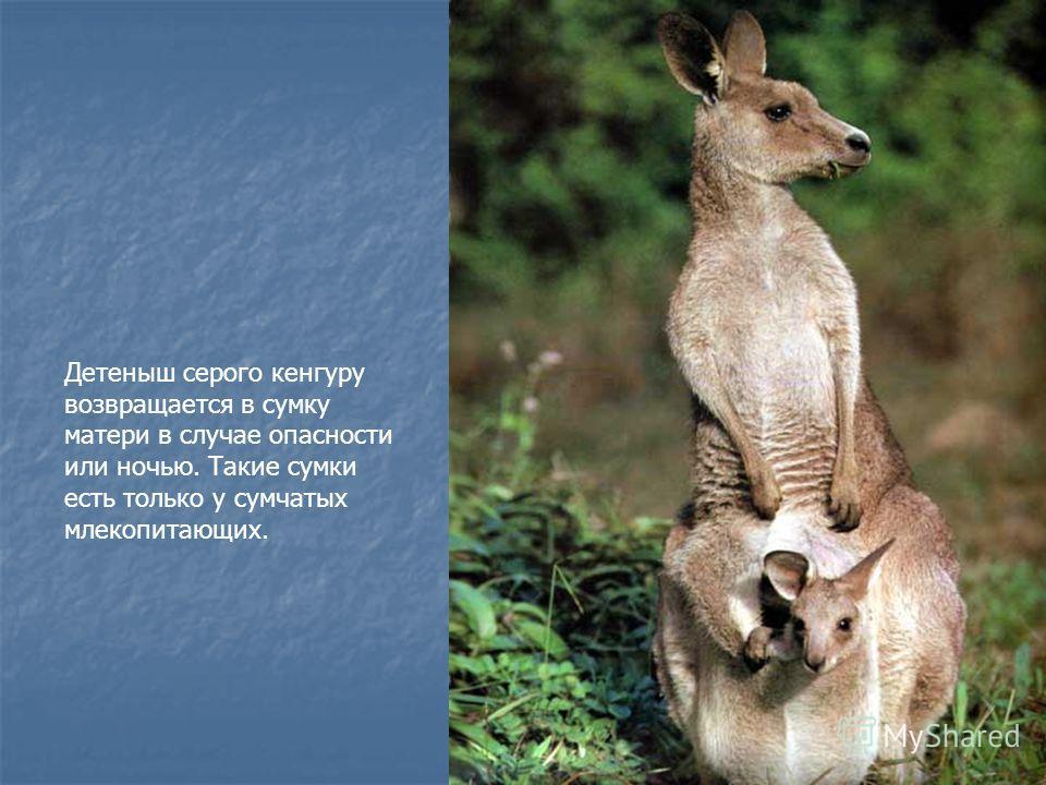 Детеныш серого кенгуру возвращается в сумку матери в случае опасности или ночью. Такие сумки есть только у сумчатых млекопитающих.