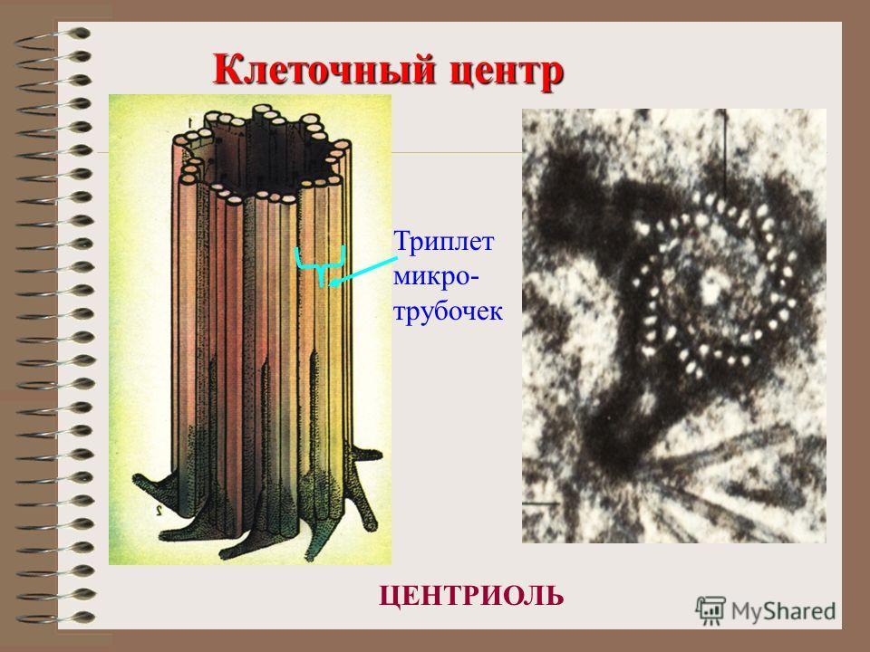 Клеточный центр ЦЕНТРИОЛЬ Триплет микро- трубочек