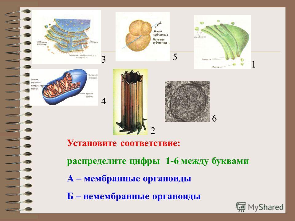 Установите соответствие: распределите цифры 1-6 между буквами А – мембранные органоиды Б – немембранные органоиды 3 5 1 4 6 2