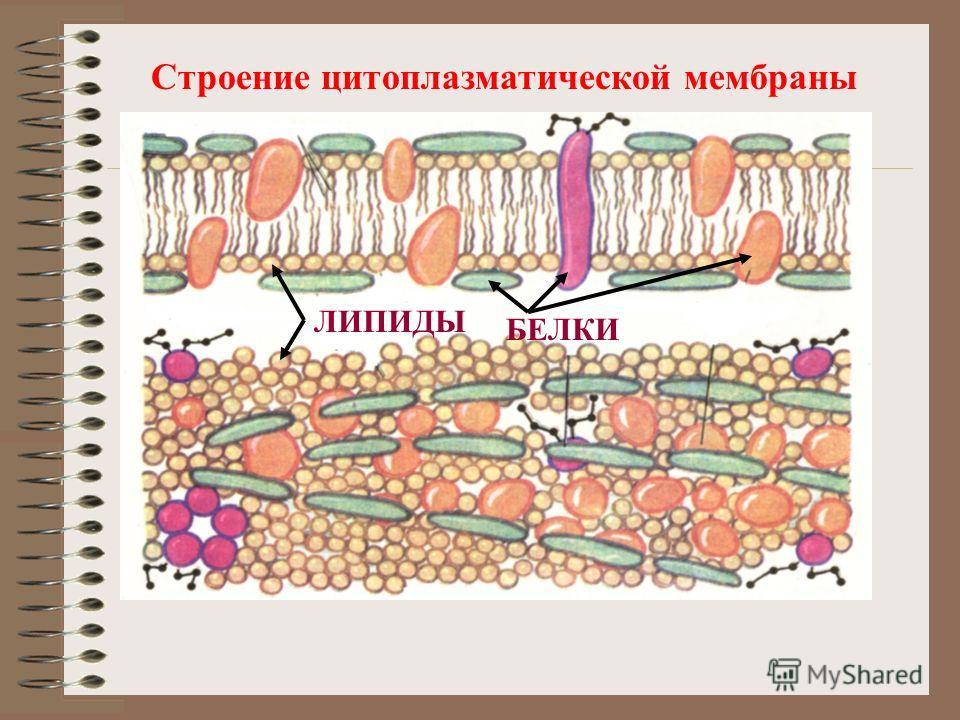 Строение цитоплазматической мембраны ЛИПИДЫ БЕЛКИ