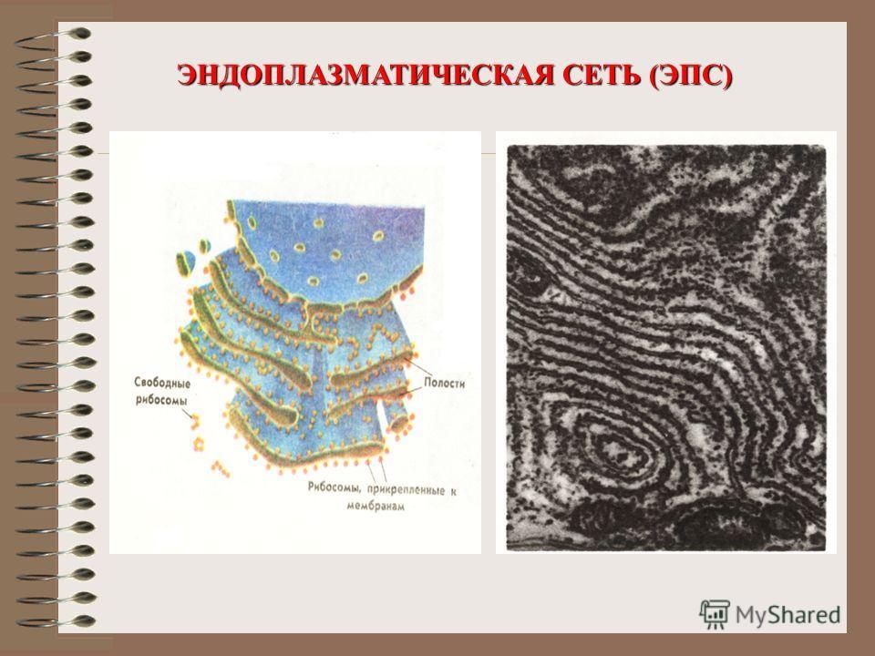 Скачать презентацию на тему эндоплазматическая сеть