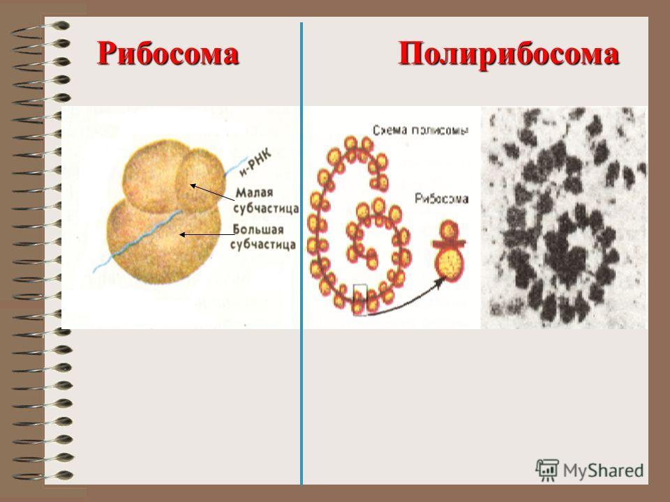 РибосомаПолирибосома