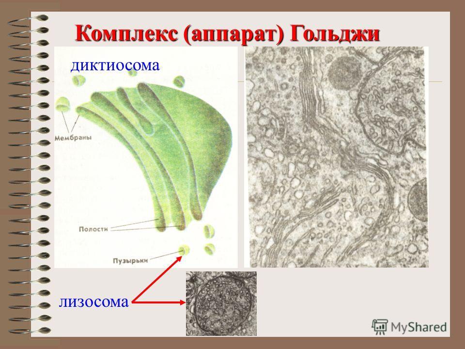 Комплекс (аппарат) Гольджи Комплекс (аппарат) Гольджи лизосома диктиосома