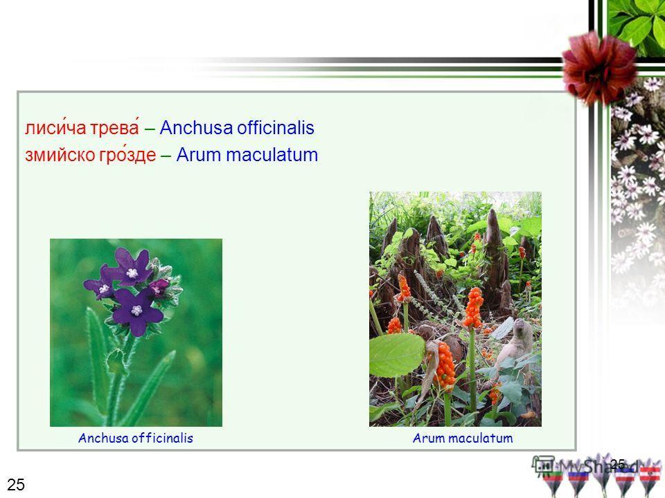25 лисича трева́ – Anchusa officinalis змийско гро́зде – Arum maculatum Anchusa officinalisArum maculatum 25