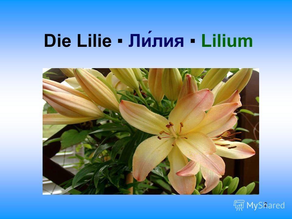 2 Die Lilie Лилия Lilium