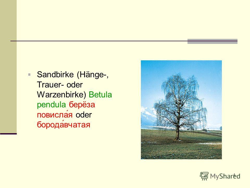 4 Sandbirke (Hänge-, Trauer- oder Warzenbirke) Betula pendula берëза повисла́я oder борода́вчатая