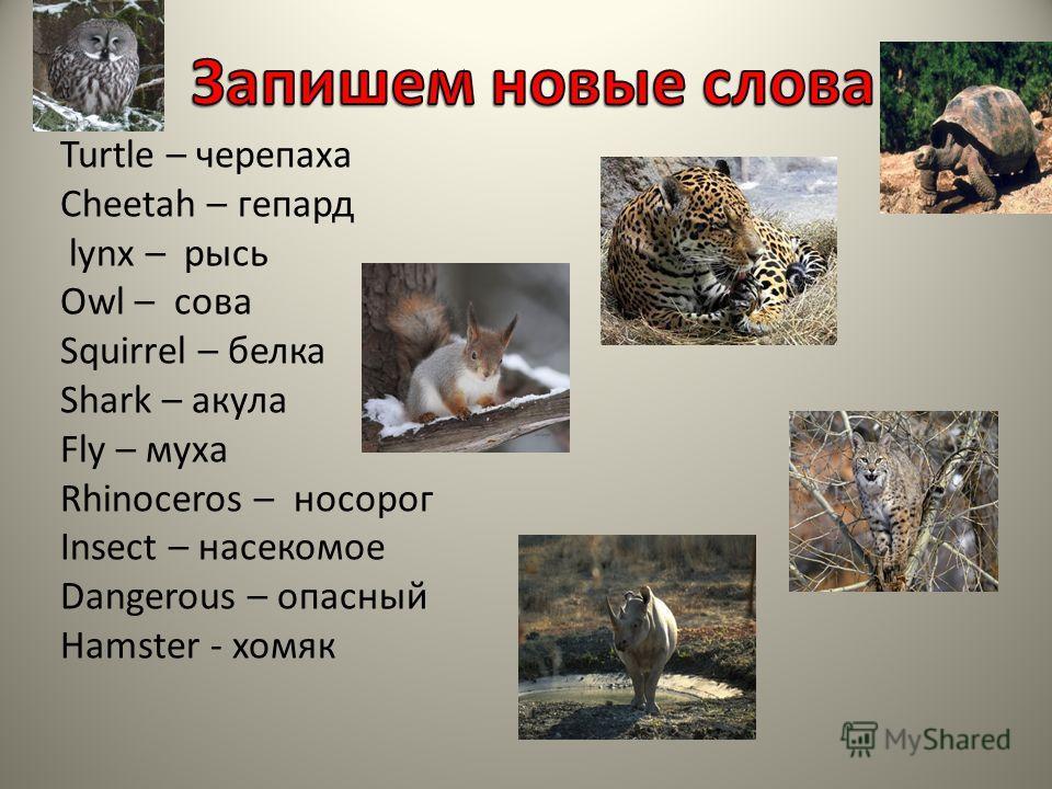 Turtle – черепаха Cheetah – гепард lynx – рысь Owl – сова Squirrel – белка Shark – акула Fly – муха Rhinoceros – носорог Insect – насекомое Dangerous – опасный Hamster - хомяк