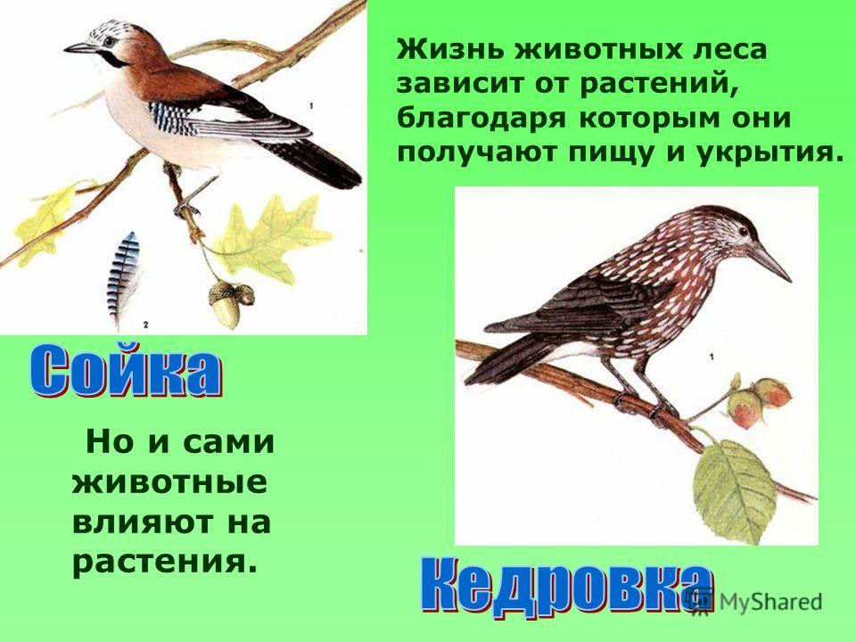 Но и сами животные влияют на растения. Жизнь животных леса зависит от растений, благодаря которым они получают пищу и укрытия.