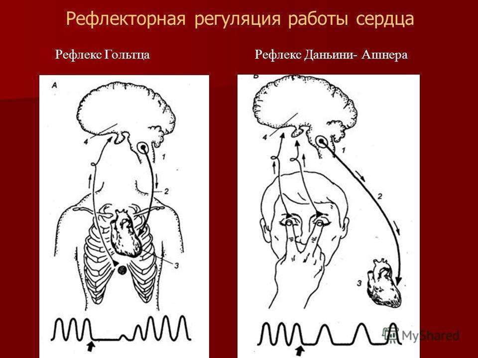 Рефлекс Гольтца Рефлекс Даньини- Ашнера Рефлекторная регуляция работы сердца