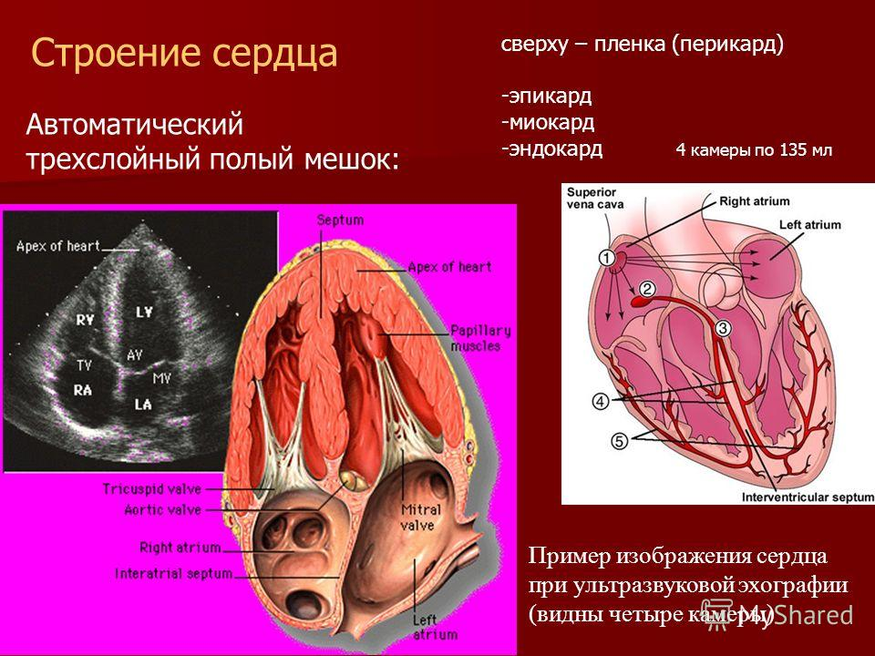 Пример изображения сердца при ультразвуковой эхографии (видны четыре камеры) Строение сердца Автоматический трехслойный полый мешок: сверху – пленка (перикард) -эпикард -миокард -эндокард 4 камеры по 135 мл