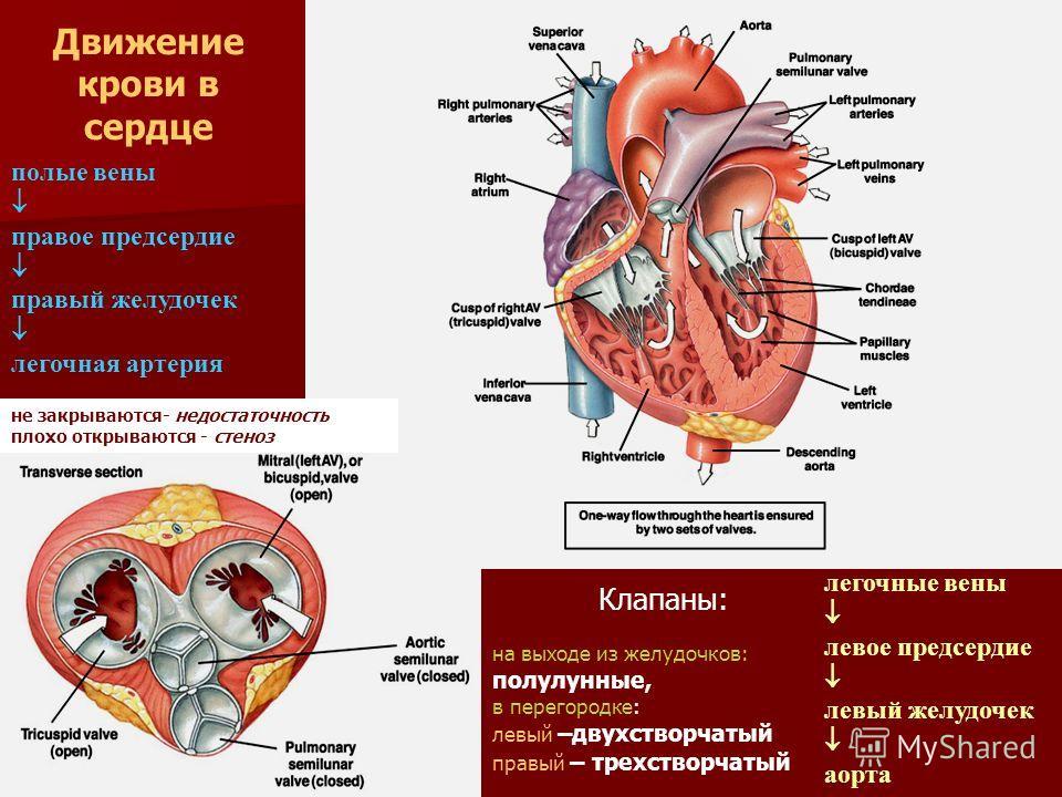 полые вены правое предсердие правый желудочек легочная артерия легочные вены левое предсердие левый желудочек аорта Движение крови в сердце Клапаны: на выходе из желудочков: полулунные, в перегородке: левый –двухстворчатый правый – трехстворчатый не
