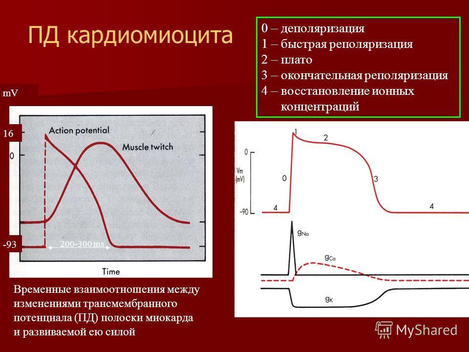 Временные взаимоотношения между изменениями трансмембранного потенциала (ПД) полоски миокарда и развиваемой ею силой 0 – деполяризация 1 – быстрая реполяризация 2 – плато 3 – окончательная реполяризация 4 – восстановление ионных концентраций -93 16 m