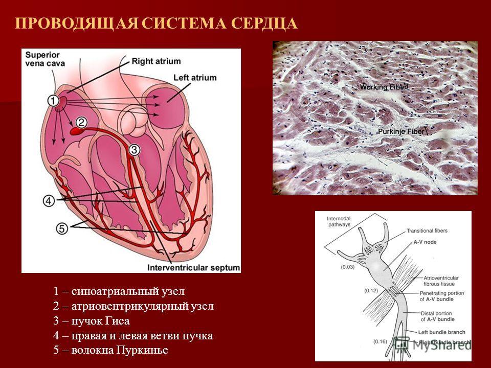 1 – синоатриальный узел 2 – атриовентрикулярный узел 3 – пучок Гиса 4 – правая и левая ветви пучка 5 – волокна Пуркинье ПРОВОДЯЩАЯ СИСТЕМА СЕРДЦА