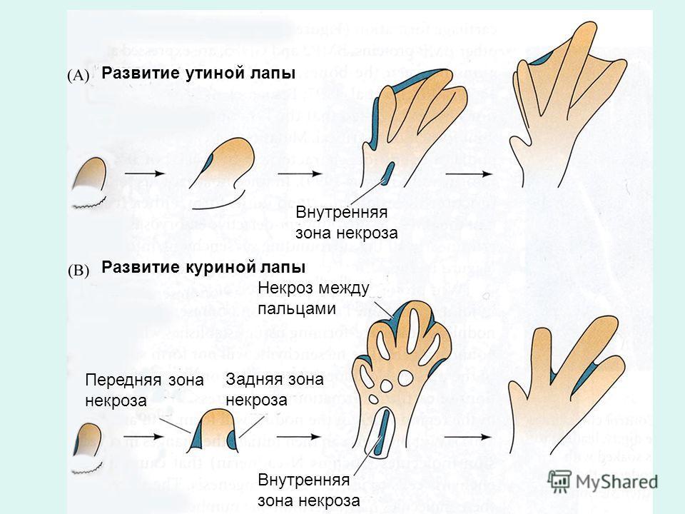 Развитие утиной лапы Развитие куриной лапы Внутренняя зона некроза Некроз между пальцами Передняя зона некроза Задняя зона некроза Внутренняя зона некроза