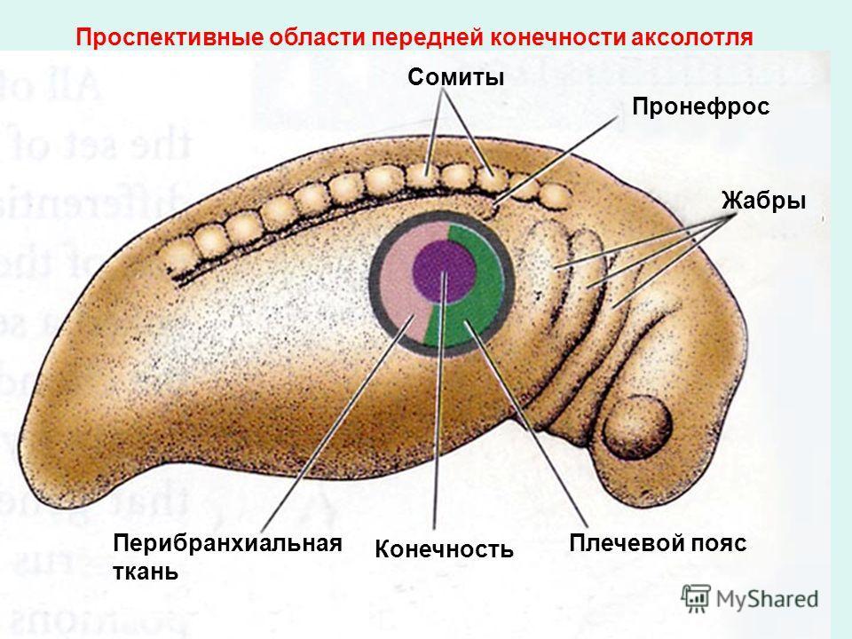 Сомиты Пронефрос Жабры Плечевой пояс Конечность Перибранхиальная ткань Проспективные области передней конечности аксолотля