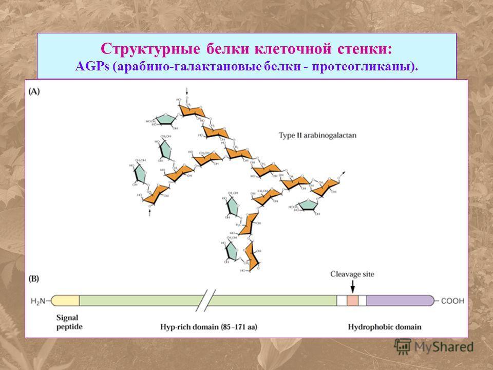 Структурные белки клеточной стенки: AGPs (арабино-галактановые белки - протеогликаны).