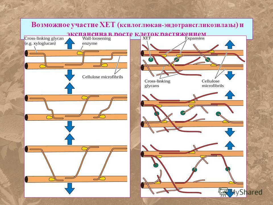 Возможное участие ХЕТ ( ксилоглюкан-эндотрансгликозилазы ) и экспансина в росте клеток растяжением