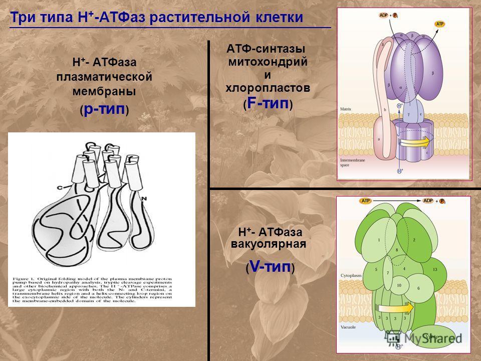 Три типа H + -АТФаз растительной клетки Н + - АТФаза плазматической мембраны ( p-тип ) Н + - АТФаза вакуолярная ( V-тип ) АТФ-синтазы митохондрий и хлоропластов ( F-тип )