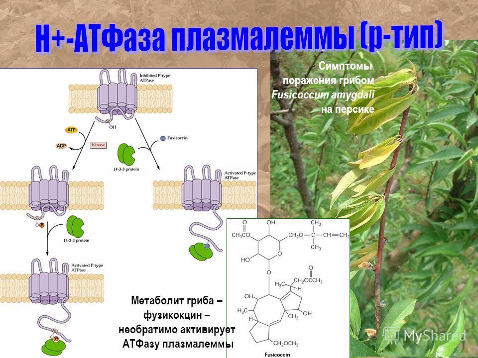Симптомы поражения грибом Fusicoccum amygdali на персике Метаболит гриба – фузикокцин – необратимо активирует АТФазу плазмалеммы