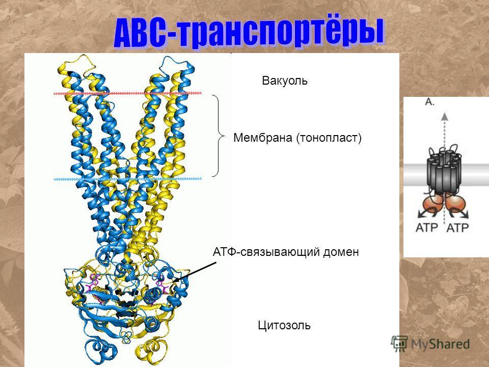 Цитозоль Мембрана (тонопласт) Вакуоль АТФ-связывающий домен