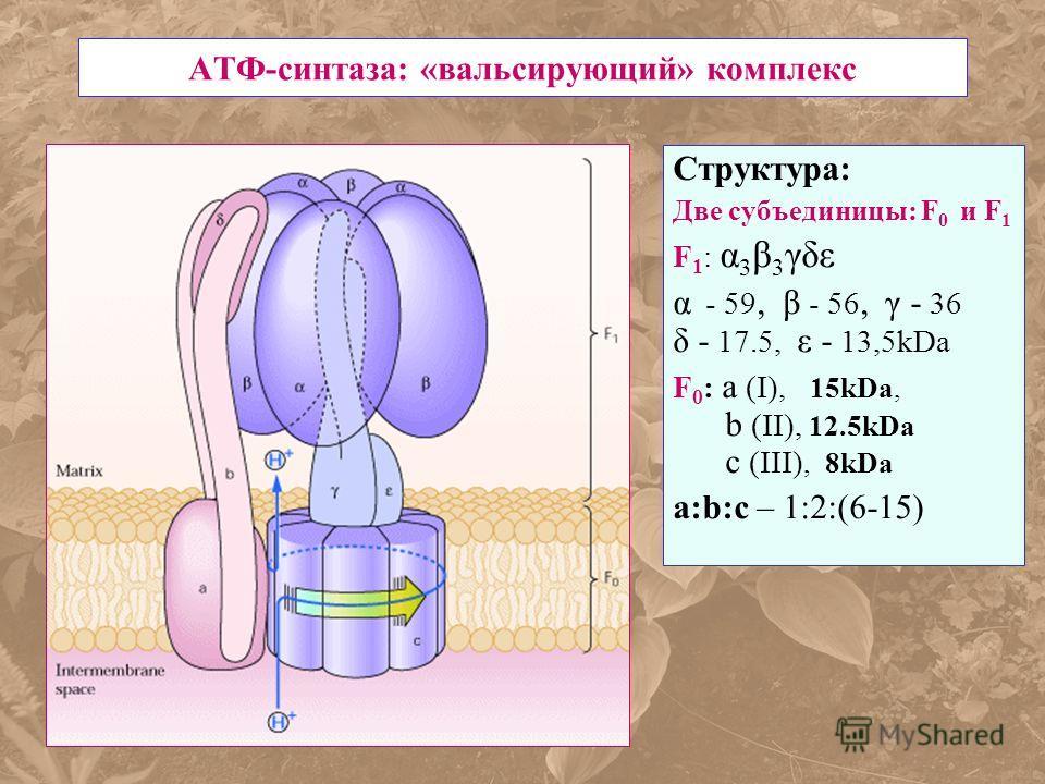 АТФ-синтаза: «вальсирующий» комплекс Структура: Две субъединицы: F 0 и F 1 F 1 : α 3 β 3 γδε α - 59, β - 56, γ - 36 δ - 17.5, ε - 13,5kDa F 0 : а (I), 15kDa, b (II), 12.5kDa c (III), 8kDa а:b:с – 1:2:(6-15)
