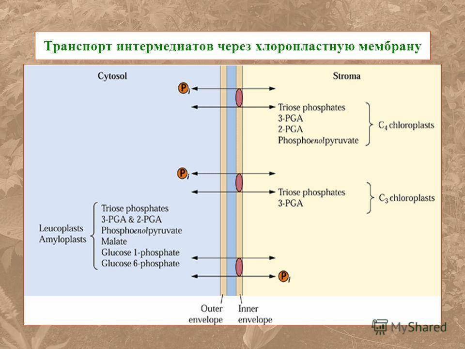 Транспорт интермедиатов через хлоропластную мембрану