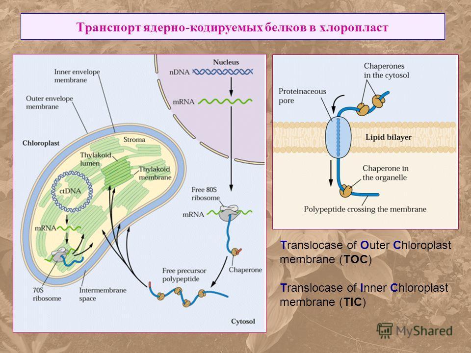 Транспорт ядерно-кодируемых белков в хлоропласт Translocase of Outer Chloroplast membrane (TOC) Translocase of Inner Chloroplast membrane (TIC)